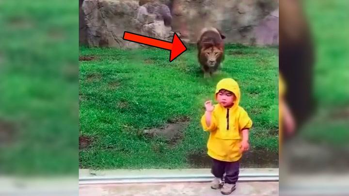 Øyeblikket 2-åringen snur ryggen til angriper løven