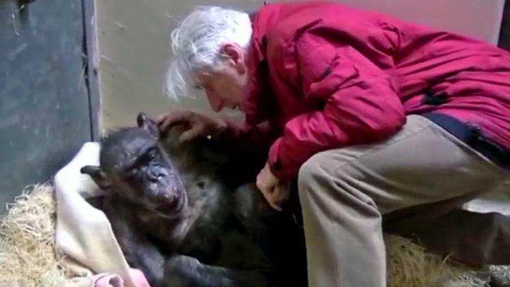 Sjimpansen «Mama» (59) lå på dødsleiet - så dukket Jan opp