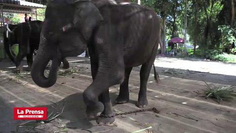 La crueldad hacia los elefantes aumenta, revela investigación