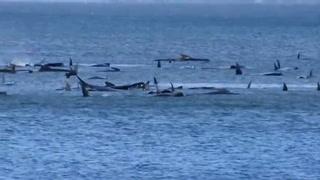Cientos de ballenas varadas en una bahía remota de Tasmania