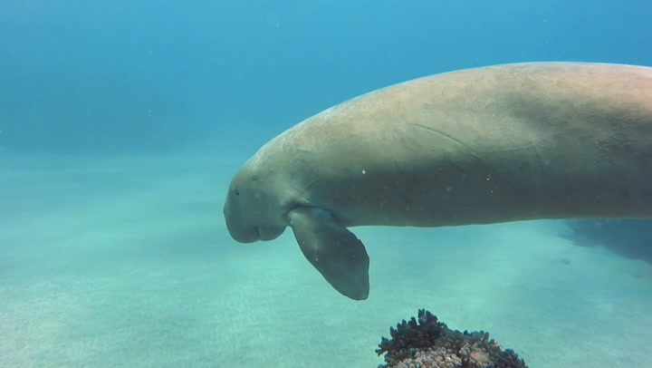 Dugong Desperately Tries To Get Pufferfish To Leave It The Hell Alone