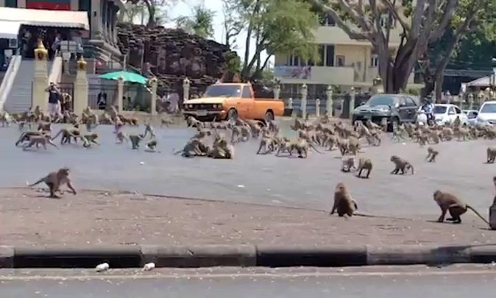 Cientos de monos se pelean por la comida en Thailandia por la falta de turismo debido al coronavirus