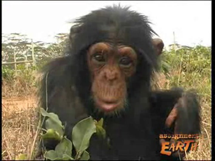 African Ape Smuggling