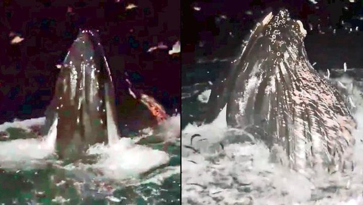 Norske fiskere fikk nærkontakt med knølhval på jakt