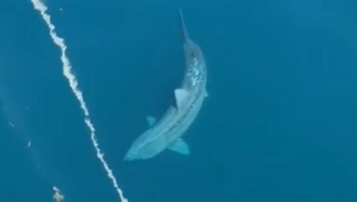 Impresionantes imágenes: un enorme tiburón aterroriza a los pasajeros de una embarcación