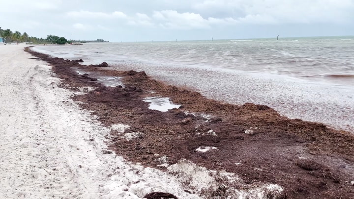 Swell of smelly seaweed suffocating beaches