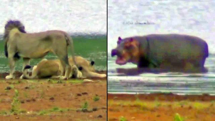 Måpende turister fikk se flodhest angripe løvefamilie