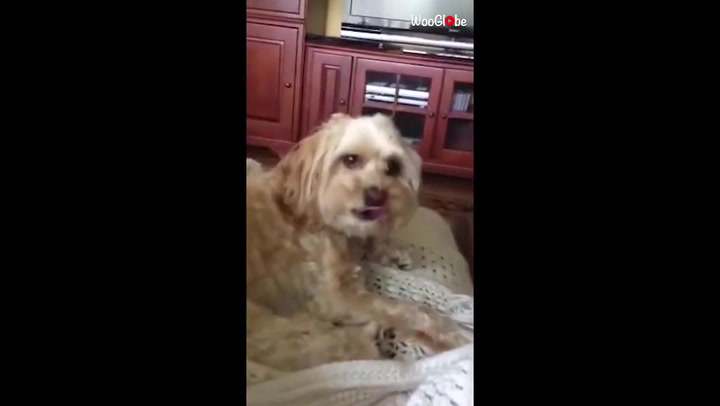 Gesundheit!: Obedient cockapoo sneezes on owner's command