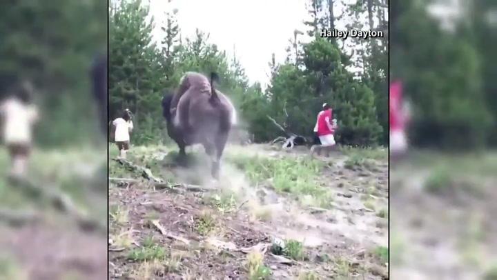 Un bisonte lanza por los aires a una niña de 9 años en Yellowstone