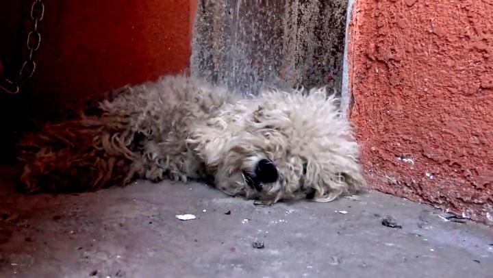 Se forvandlingen: Yankee gikk fra rufsete gatehund til pen puddel