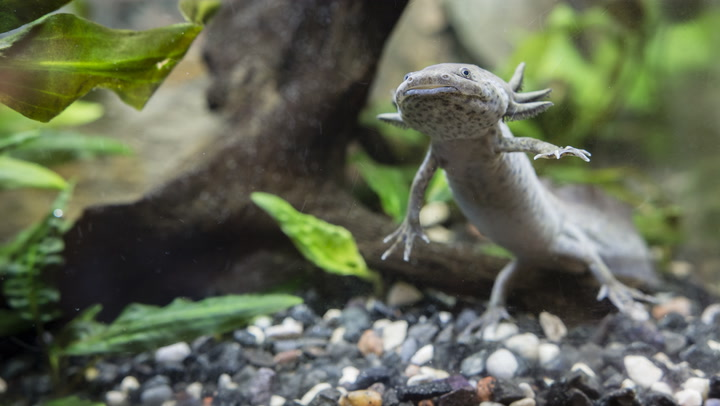 Watch Now: Axolotls are Cute, But Do They Make Good Pets?
