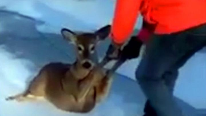 Bambi snubla på glattisen - så kom jegeren