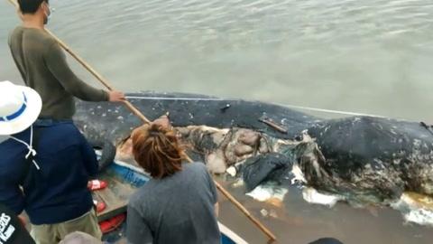 Hallan muerto un cachalote en Indonesia con 6 kg de plástico