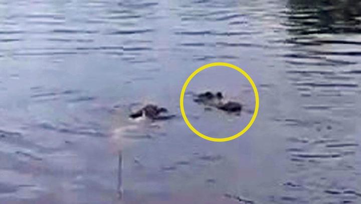 Sulten alligator overrasket intetanende valp
