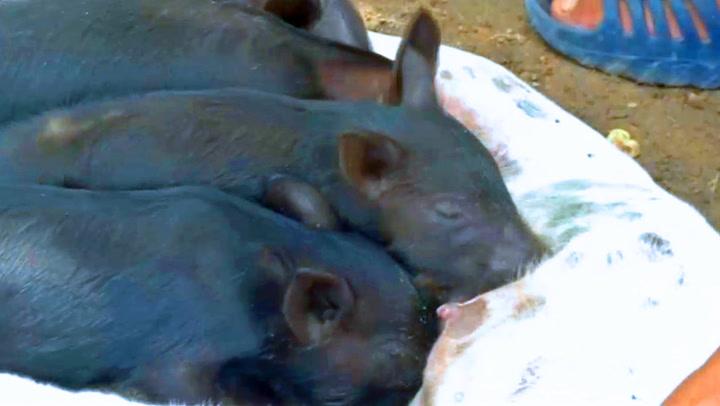 Bondens geniale idé reddet foreldreløse grisunger