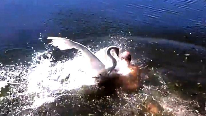 Her blir han angrepet av illsinte svaner