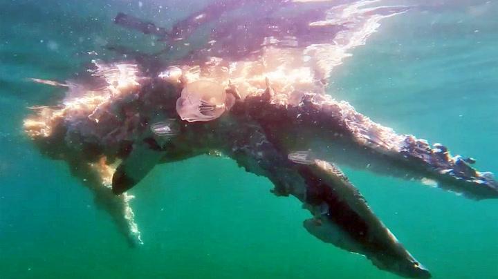 Hvithaien går løs på hvalkadaver