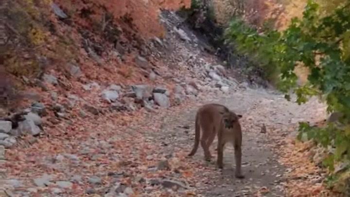La pesadilla de un corredor: un puma le persigue durante seis minutos