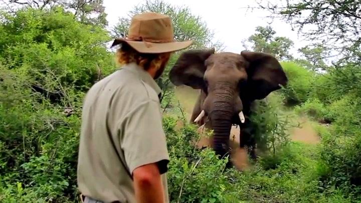 Rasende elefant stormer mot guiden - men han rikker seg ikke