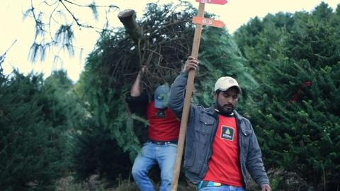 Guatemala protege su pinabete, árbol nativo amenazado por la Navidad