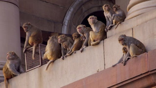 CAN'T MAKE THIS STUFF UP: Deadly escaped rhesus macaque monkeys invade Florida