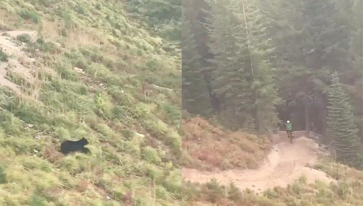 Un oso salvaje persigue a un ciclista en medio del bosque