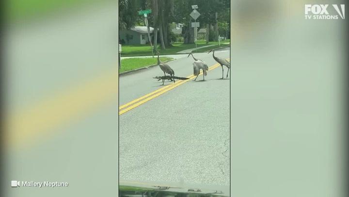 Alligator calmly crosses street trying to shake off flock of cranes