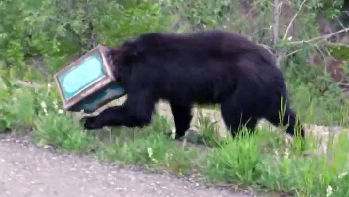 Bamsefar havnet i bjørne-knipe