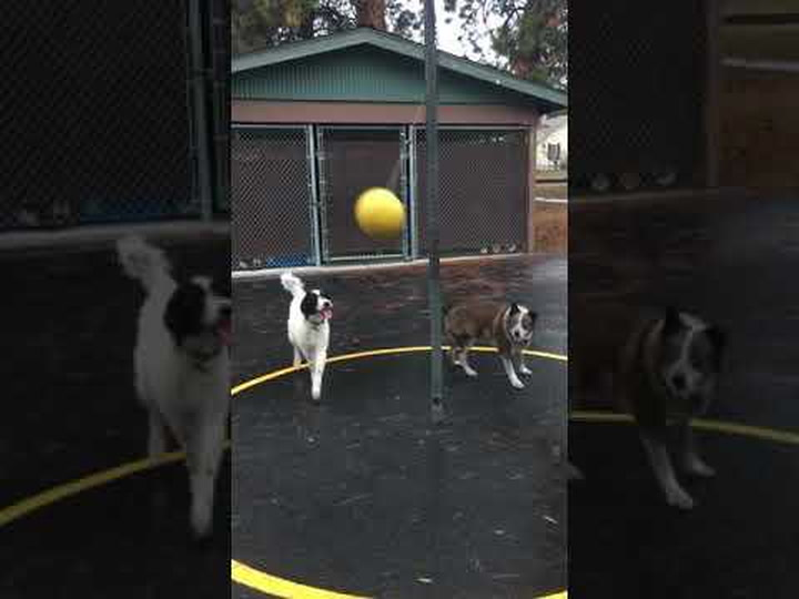 This Adorable Tetherball Game Between Two Dogs Will Make Your Day