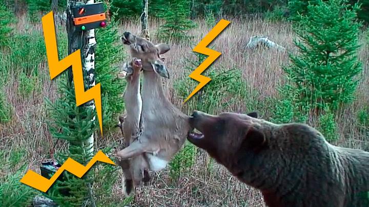 Bjørn møter elektrifisert hjort for første gang