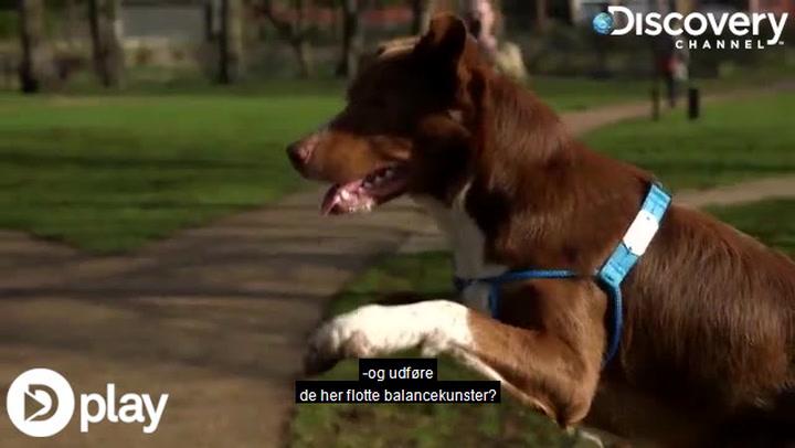 Se hunden med de helt specielle evner