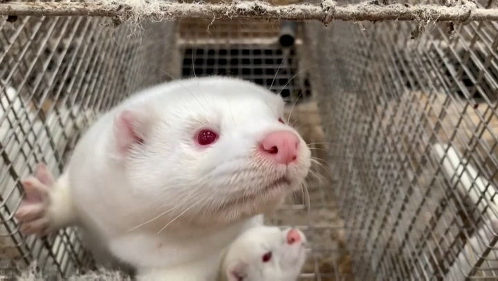 Europe is slaughtering millions of mink to curb the spread of COVID-19