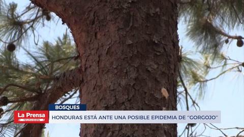 Honduras está ante una posible epidemia de ''gorgojo''
