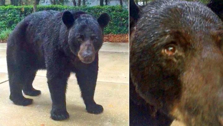 Amerikaneren var så opptatt av mobilen at han ikke så bjørnen komme