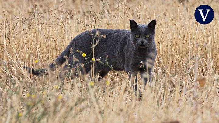La pantera negra de Granada es en realidad un gato negro que todavía no ha sido capturado