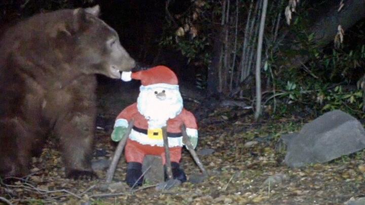 Bjørn tok knockout på nissen