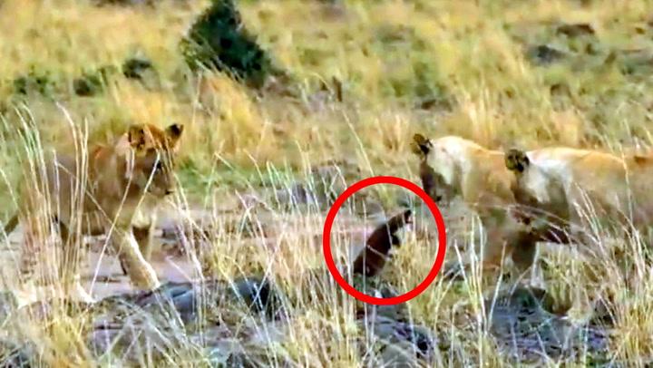Løveungene leker med byttet - så slår det tilbake