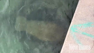 Manatee Swims in the Stormwater Dumped Into Biscayne Bay