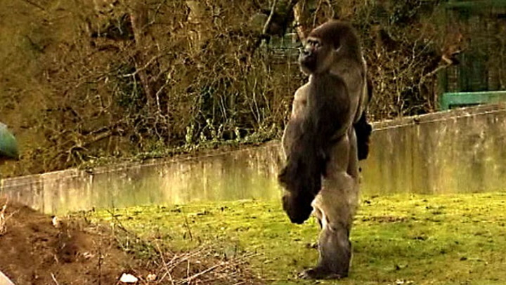 Se gorillaen på to bein