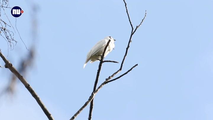 Witte klokvogel roept het hardst