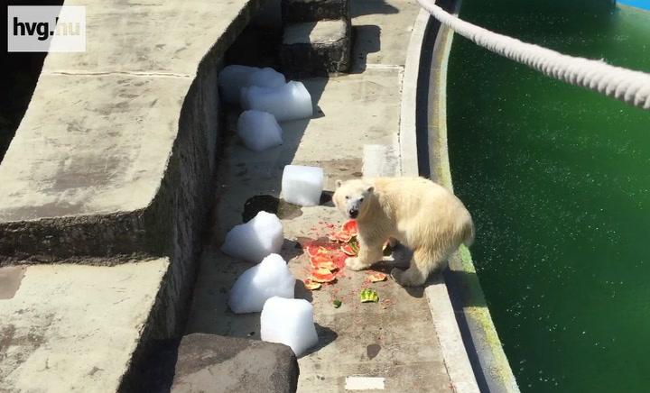 Behajigált dinnyével hűtik a pesti jegesmedvéket