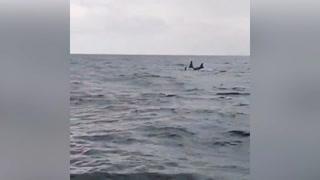 Captan majestuosa visita de ballenas orcas en Utila
