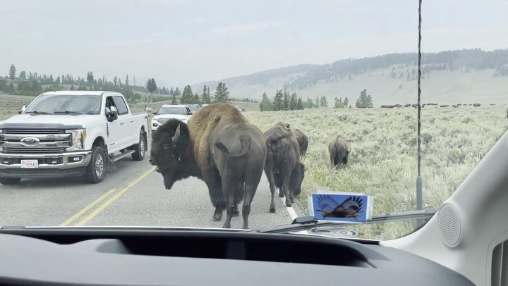 Herd of huge bison block traffic at Yellowstone National Park