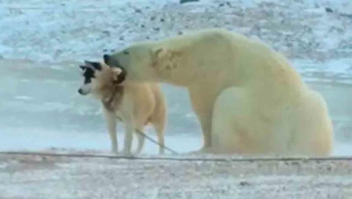 Hunden er fastlenket – så kommer isbjørnen