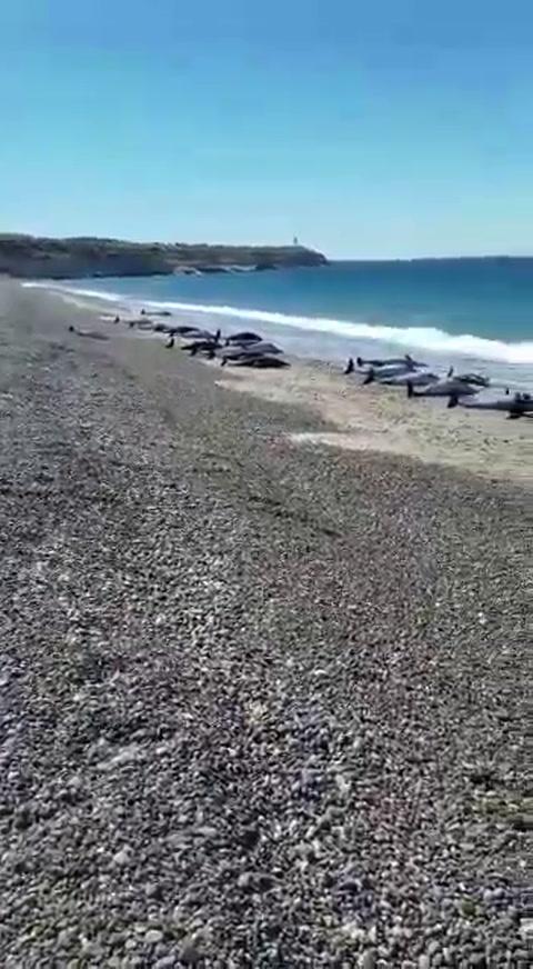 Murieron 49 delfines tras quedar varados en las playas de Puerto Madryn