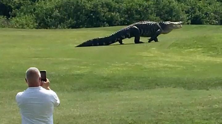 Gigantisk alligator fanget på film