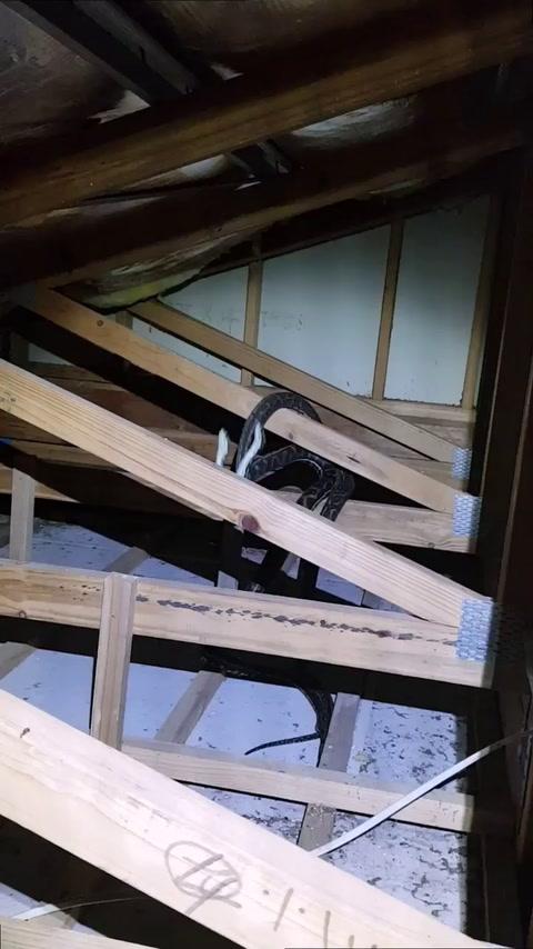 Descubren a dos pitones peleando en el techo de una casa