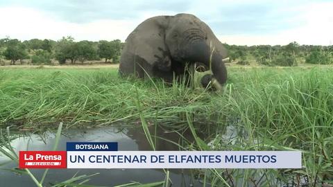 Un centenar de elefantes muertos en pocas semanas en Botsuana