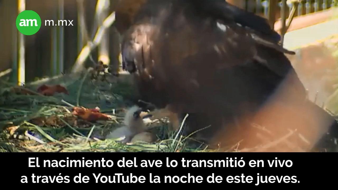 Nace de águila real en el ZooLeón