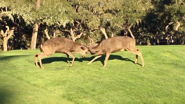 Hjortene havnet i full slåsskamp på golfbanen